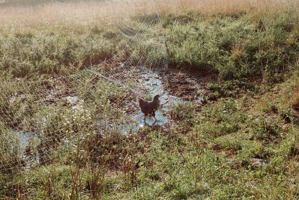 chicken in puddle at rough draft farm