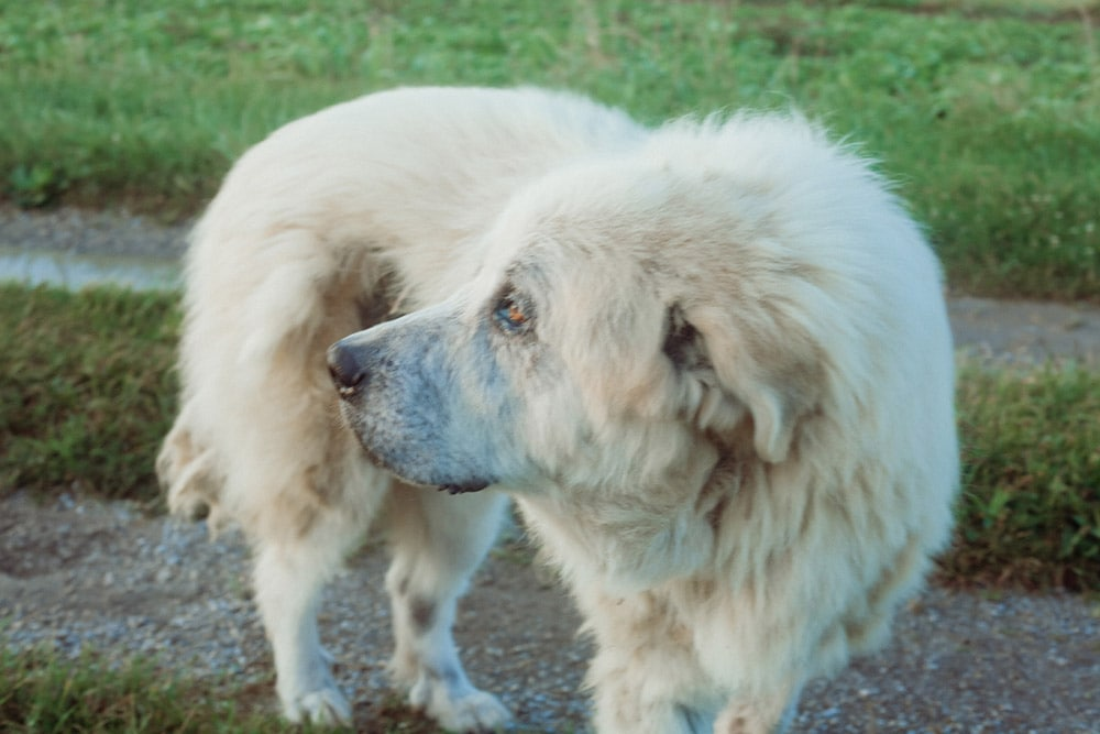 great pyranees dog