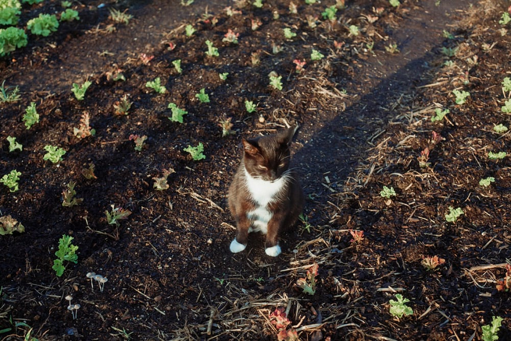 rough draft farm cat in the garden