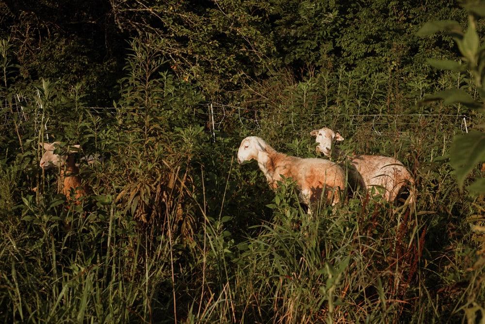 sheep at rough draft farm