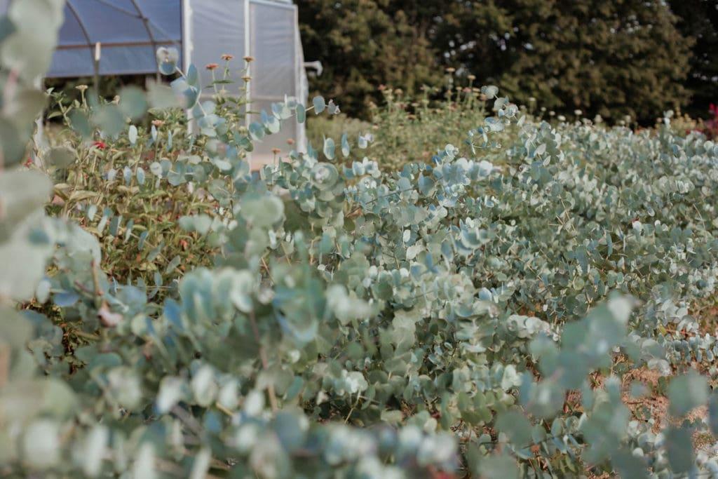 bellaire blooms flower farm echinacea