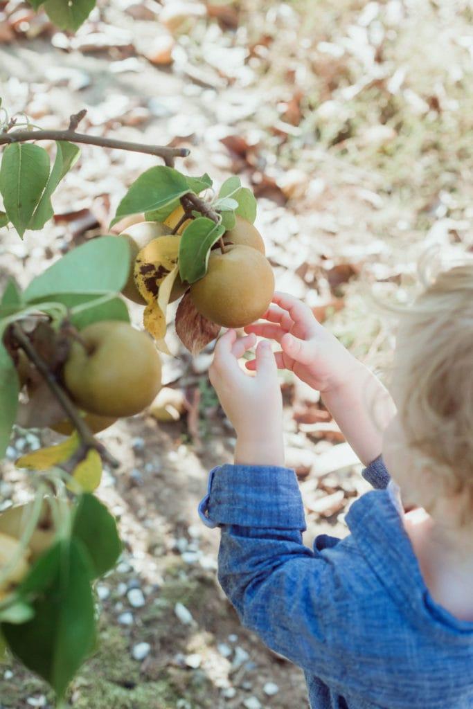 picking apples at evan orchard